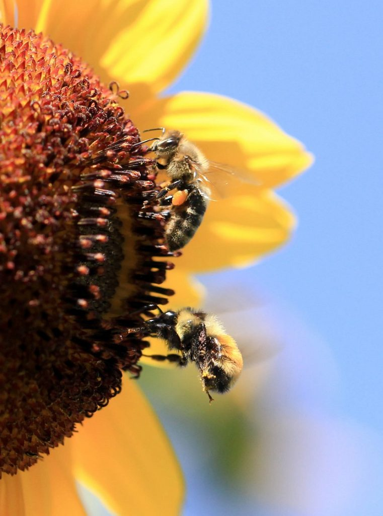 2 bees on a sunflower