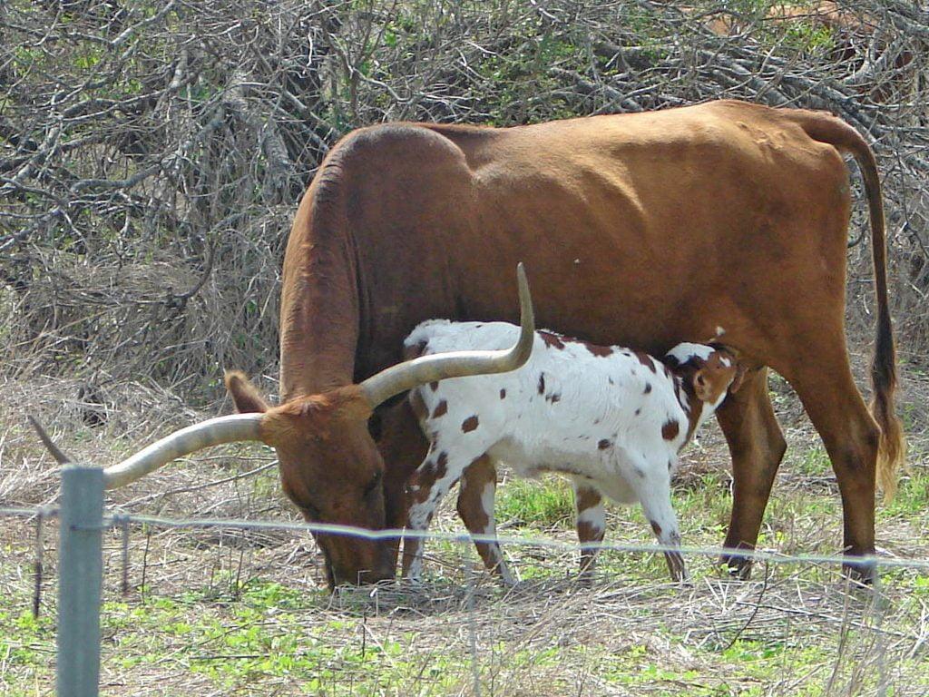 Calf and longhorn