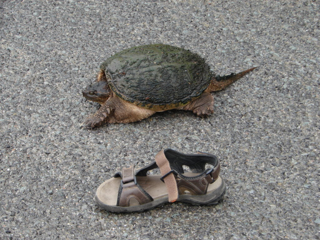 Comparing the size of the turtle with a shoe